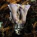 Orejas de Cerdo - Photo (c) Ken-ichi Ueda, algunos derechos reservados (CC BY)