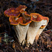 Gomphaceae - Photo (c) Ken-ichi Ueda, algunos derechos reservados (CC BY)