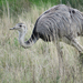Greater Rhea - Photo (c) Martin Arregui, some rights reserved (CC BY-NC)