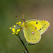 Clouded Yellow - Photo (c) elisabraz, some rights reserved (CC BY-NC)