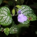 Salvia aequidistans - Photo (c) Arturo Castro Castro, some rights reserved (CC BY-NC)