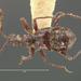 Tmesiphorus costalis - Photo (c) Museum of Comparative Zoology, Harvard University, algunos derechos reservados (CC BY-NC-SA)