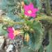 Aliciella latifolia - Photo (c) William Terry Hunefeld, algunos derechos reservados (CC BY)