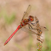 Vagrant Darter - Photo (c) Pavel Trhoň, some rights reserved (CC BY-NC)