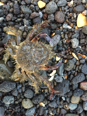 Hairy Seaweed Crab - Photo (c) Karen Pratt, some rights reserved (CC BY-NC)