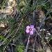 Euryomyrtus ramosissima ramosissima - Photo (c) David, some rights reserved (CC BY-NC)