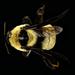 Cullumanobombus - Photo USGS Bee Inventory and Monitoring Lab, ei tunnettuja tekijänoikeusrajoituksia (Tekijänoikeudeton)