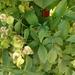Serjania meridionalis - Photo (c) Adela Ma. Panizza, algunos derechos reservados (CC BY-NC)