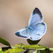 Holly Blue - Photo (c) katunchik, some rights reserved (CC BY-NC)