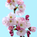 Prunus triloba - Photo (c) benjamine scalvenzi, algunos derechos reservados (CC BY)