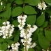 Deutzia - Photo (c) tbcl, some rights reserved (CC BY-NC)