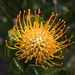 Mossel Bay Pincushion - Photo (c) renehodges, some rights reserved (CC BY-NC)