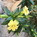 Low Bush Monkeyflower - Photo (c) Tracy Lawrence, some rights reserved (CC BY-NC)