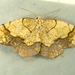 Horned Spanworm Moth - Photo (c) Dick, some rights reserved (CC BY-NC-SA)