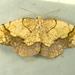 Nematocampa resistaria - Photo (c) Dick, algunos derechos reservados (CC BY-NC-SA)