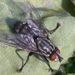 Κρεατόμυγα - Photo (c) Sam R, μερικά δικαιώματα διατηρούνται (CC BY-NC)