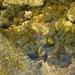 Colpomenia sinuosa - Photo (c) Valter Jacinto   Portugal, μερικά δικαιώματα διατηρούνται (CC BY-NC-SA)
