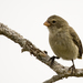 Small Tree-Finch - Photo (c) Laura Gooch, some rights reserved (CC BY-NC-ND)