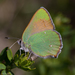 Mariposa Sedosa Verde del Loto - Photo (c) Ken-ichi Ueda, algunos derechos reservados (CC BY)