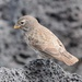 Small Ground-Finch - Photo (c) Vince Smith, some rights reserved (CC BY-NC-SA)