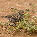 Ground-Finches and Cactus-Finches - Photo (c) Laura Gooch, some rights reserved (CC BY-NC-ND)