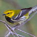 Black-throated Green Warbler - Photo (c) Dan Pancamo, some rights reserved (CC BY-SA)
