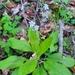 Andersonglossum virginianum - Photo (c) jordanmbyrnes, μερικά δικαιώματα διατηρούνται (CC BY-NC)