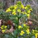 Barbarea vulgaris - Photo (c) amlambert11,  זכויות יוצרים חלקיות (CC BY-NC)