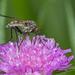 Empidoidea - Photo (c) Anne SORBES, osa oikeuksista pidätetään (CC BY-NC-SA), uploaded by Anne Sorbes
