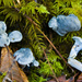 Albatrellaceae - Photo (c) Ken-ichi Ueda, algunos derechos reservados (CC BY)