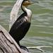 Phalacrocorax carbo lucidus - Photo (c) Nik Borrow, algunos derechos reservados (CC BY-NC)
