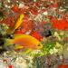 Pseudanthias hawaiiensis - Photo (c) DavidR.808,  זכויות יוצרים חלקיות (CC BY-NC), uploaded by David R