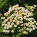 Pluchea sagittalis - Photo (c) 葉子, alguns direitos reservados (CC BY-NC-ND)