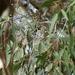 Corymbia maculata - Photo (c) johnnewm, osa oikeuksista pidätetään (CC BY-NC)