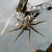 Six-spotted Fishing Spider - Photo (c) Benny Mazur, some rights reserved (CC BY)
