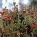 Cladonia - Photo (c) Ilja Klutman,  זכויות יוצרים חלקיות (CC BY-NC-SA)