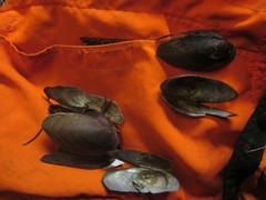 Image of Anodonta oregonensis