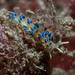 Trinchesia cuanensis - Photo (c) Bernard Picton,  זכויות יוצרים חלקיות (CC BY)