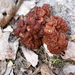 Gyromitra esculenta - Photo (c) Cody Hough, alguns direitos reservados (CC BY-NC-SA)
