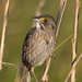 New World Sparrows - Photo (c) Greg Lasley, some rights reserved (CC BY-NC)