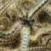 Ophiothrix fragilis - Photo (c) Bernard Picton, algunos derechos reservados (CC BY)