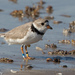 Piping Plover - Photo (c) Greg Lasley, some rights reserved (CC BY-NC)
