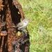 Saltapared de Isla Clarión - Photo (c) snakeinmypocket, algunos derechos reservados (CC BY-NC)