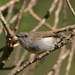 Gray Gerygone - Photo (c) Michael, some rights reserved (CC BY-NC-SA)