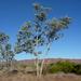 Eucalyptus pruinosa pruinosa - Photo (c) Dean Nicolle, μερικά δικαιώματα διατηρούνται (CC BY-NC)