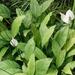 Spathiphyllum floribundum - Photo (c) chauyl, algunos derechos reservados (CC BY-NC)