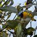 Tangará Cabeza Celeste - Photo (c) Cláudio Dias Timm, algunos derechos reservados (CC BY-NC-SA)