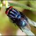 Chrysomyinae - Photo (c) Kathleen Franklin, μερικά δικαιώματα διατηρούνται (CC BY)