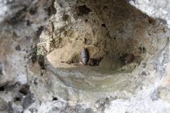 Image of Solatopupa similis