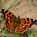 Compton Tortoiseshell - Photo (c) gadel, some rights reserved (CC BY-NC)